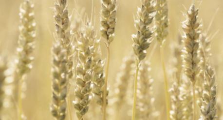 IgE sp. F4 Mąka pszenna