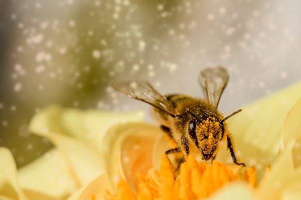 IgE sp. I1 Jad pszczoły