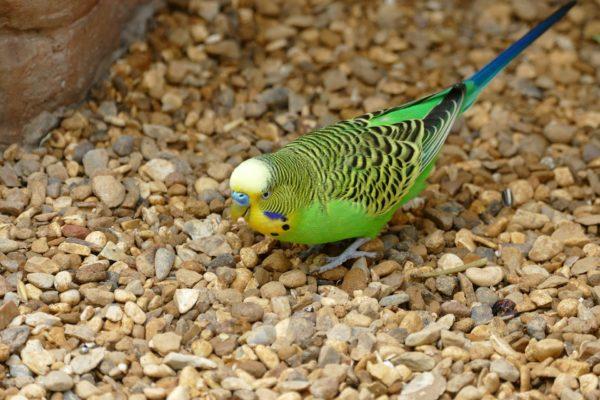 IgE sp. E78 Pióra papużki falistej