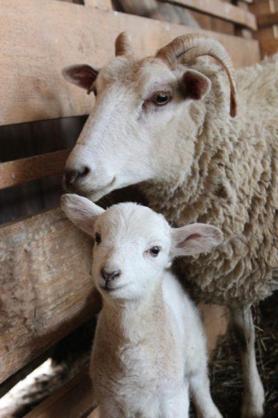 IgE sp. E81 Naskórek owcy